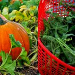 Health_tips_-_Benefits_of_consumption_of_pumpkin_leaves4462