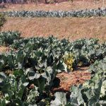 organic-vegetable-farm-nepal