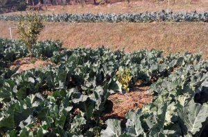 organic-vegetable-farm-nepal