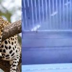 leopard_in_secretariat7809